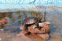 Turtle sunning. On lake on a Sunday afternoon royalty free stock photos