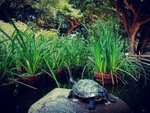 Turtle sunning in park, Japan. Turtle sunning in pond at Kamakura, Japan royalty free stock photos
