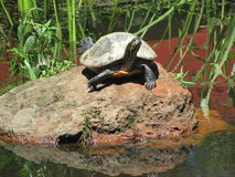 Turtle sunning on a rock. Turtle sitting on a rock in Bellingrath Gardens stock images