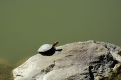 Turtle sunning royalty free stock photos