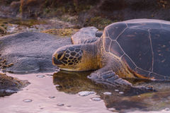 Turtle Sunset. A large Green Sea Turtle at sunset on the beach of the Hawaiian Islands Stock Image