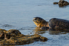 Turtle Sunset. A large Green Sea Turtle at sunset on the beach of the Hawaiian Islands Stock Photos