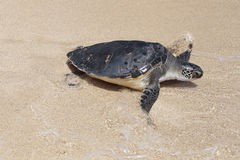 Turtle in Surf Stock Images
