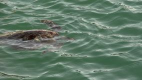 Turtle at the surface breathing air in Monkey Mia Shark Bay National Park stock footage