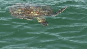 Turtle at the surface breathing air in Monkey Mia Shark Bay National Park stock video footage