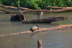 Turtle in the swamp royalty free stock photos