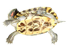 Turtle swim. A red ear turtle isolated in whiite Stock Image