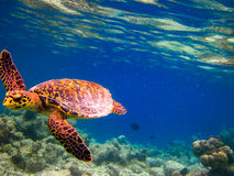 Turtle swiming like flying Royalty Free Stock Photo
