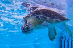 A turtle is swiming. A turtle is swimming in clear blue water at a local aquarium, taken in Florida Royalty Free Stock Photos