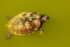 Turtle swimming. Stock Photo