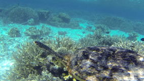 Turtle swimming above shallow coral reef stock video footage