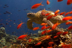 Turtle swimming behind orange fish. Underwater scenery showing turtle swimming behind a school of orange fish Stock Photo