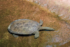 Turtle Swimming Royalty Free Stock Photo