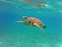 Turtle Swimming view underwater pacific ocean. Turtle Swimming blue water view underwater pacific ocean, on Riviera Maya, Mexico Stock Photos