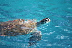Turtle swimming. In the Caribbean sea royalty free stock image