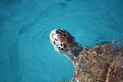 Turtle swimming Stock Photography