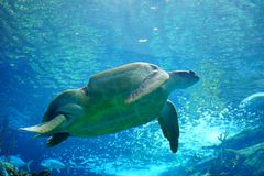 A turtle is swiming. A turtle is swimming in clear blue water at a local aquarium, taken in Florida stock image
