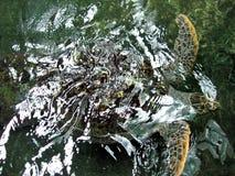 Turtle Swimming royalty free stock photos