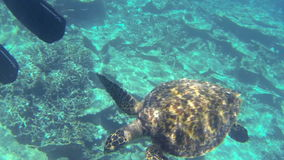 Turtle swimming by coral reef past snorkeling people. In the Maldives stock video footage
