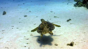 Turtle swimming in coral reef. Red sea stock video footage