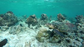 Turtle swimming in a coral reef. A sea turtle swims in a coral reef stock video footage