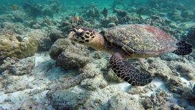 Turtle swimming in a coral reef. A sea turtle swims in a coral reef stock video