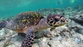 Turtle swimming in a coral reef. A sea turtle swims in a coral reef stock footage