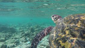 Turtle swimming in a coral reef stock footage