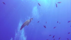 Turtle swimming among fish in the ocean. Turtle swimming among fish in the open blue ocean stock footage