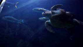 Turtle swimming in fish tank. At the aquarium stock video footage