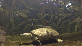 Turtle swimming in fish tank at the aquarium stock video