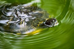 A turtle swimming in a green pond of water royalty free stock photography