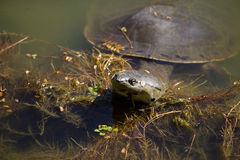 Turtle swimming in the lake Royalty Free Stock Photo