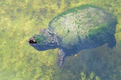 Big turtle in water Royalty Free Stock Photography
