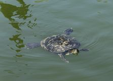 Turtle swimming in the lake. Turtle swimming and sticking its head out of the water stock images