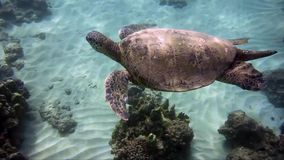 Turtle swimming at leisure, underwater video. Turtle swimming at leisure. Video taken in Maui Hawaii stock footage