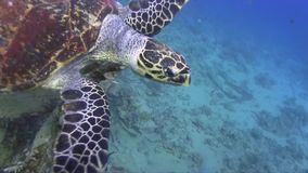 Turtle swimming near the wreck. stock video footage