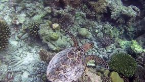 Turtle is swimming. Over coral away stock video