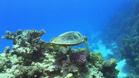 Turtle Swimming over Coral Reef Stock Photo