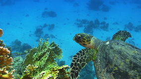 Turtle Swimming over Coral Reef Stock Images