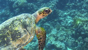 Turtle Swimming over Coral Reef. Red sea stock video