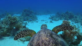 Turtle Swimming over Coral Reef stock footage