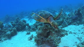 Turtle Swimming over Coral Reef stock video