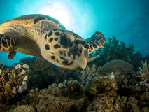 Turtle swimming over coral reef with sun in background Royalty Free Stock Images