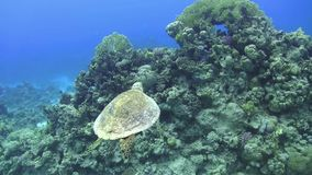 Turtle Swimming over Coral Reef. Underwater scene stock video footage