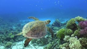 Turtle Swimming over Coral Reef. Underwater scene stock video