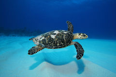 Turtle swimming over sand. Hawksbill turtle swimming over rippled sand royalty free stock image