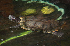 Turtle. A Turtle swimming in a pond Stock Image