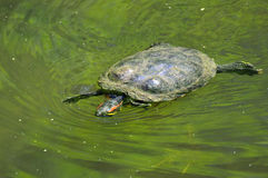 Turtle swimming in a pond Royalty Free Stock Photo