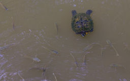Turtle swimming in a pond with fish Royalty Free Stock Image